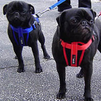 EzyDog Harness for Small Dogs from Golly Gear