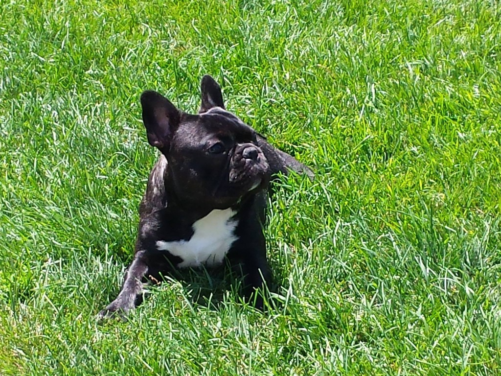 French Bulldog lying in the grass