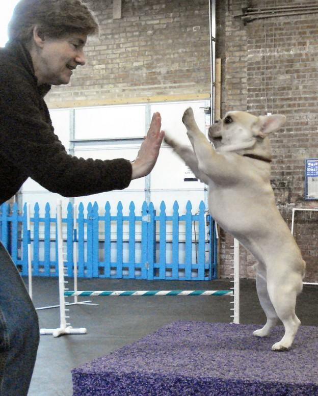 "French Bulldog Teddy learning ""high five"""