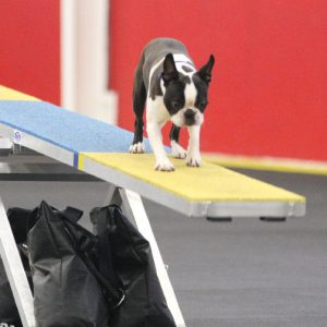 Boston Terrier Booker on the Agility seesaw