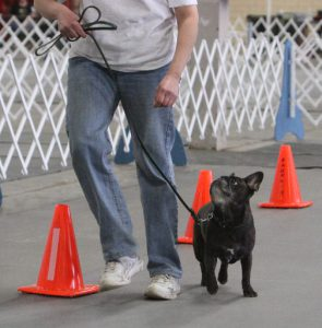 French Bulldog Dax in Rally competition.