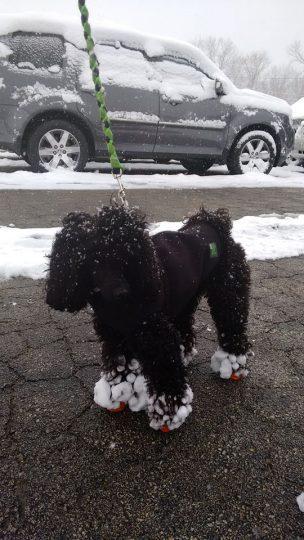 poodle has fur snowballs