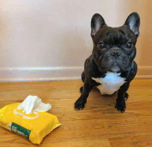 French Bulldog Torque and baby wipes