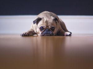 flat pug