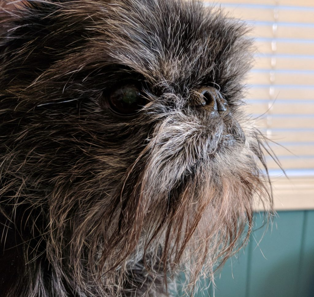 Picture of a Brussels Griffon, Tango, now an old dog.