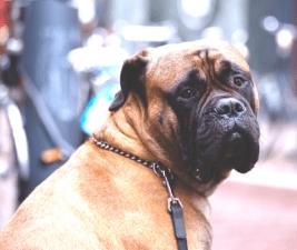 mastiff looking at camera