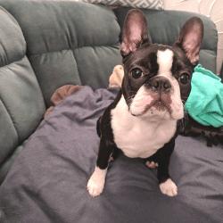 boston terrier puppy simon