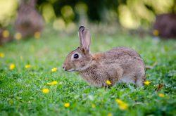 rabbit poop causes dog retching