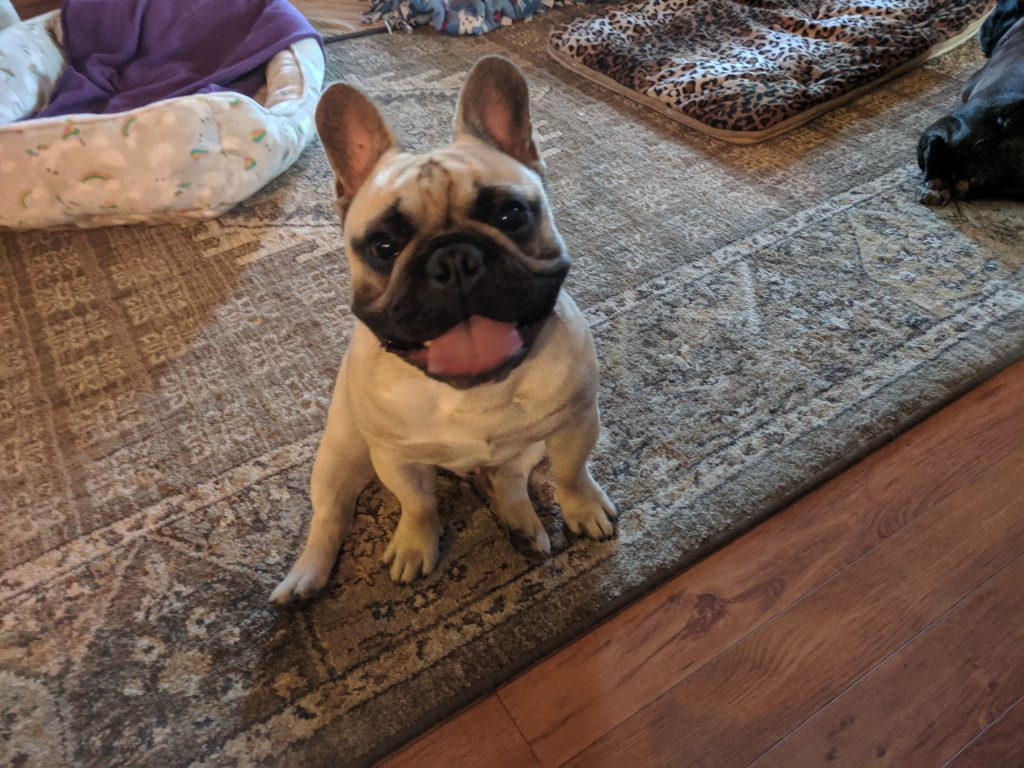 French Bulldog sitting with tongue out