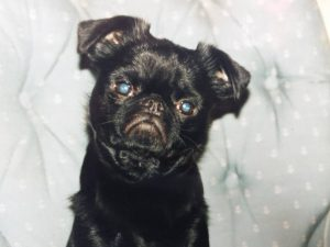 Mr. Personality - a black Brussels Griffon looking into the camera
