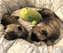 2 keeshond puppies sleeping