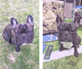 """French Bulldog Torque can generalize """"sit"""" in different places"""
