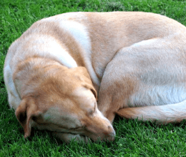 Picture of a yellow Labrador Retriever in a curled up sleeping position