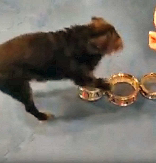 Tango, a Brussels Griffon, tapping a drum in his dog trick