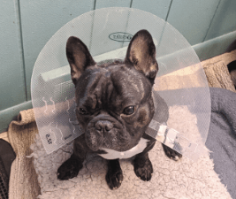 French Bulldog in a cone of shame