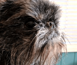 Picture of a Brussels Griffon dog who needs grooming