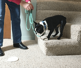 Boston Terrier puppy learning stairs