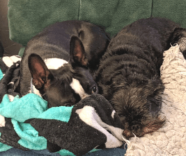 getting dogs to get along - Boston Terrier and Brussels Griffon lying side by side
