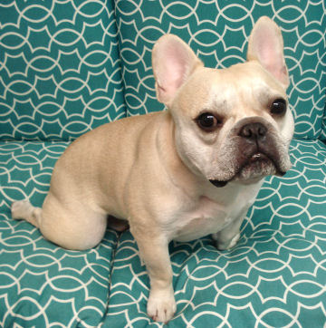 This horrible year marked the loss of many adored dogs. This was Teddy, a French Bulldog.