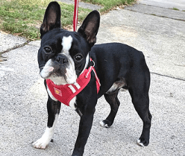 Picture of Boston Terrier Simon, the dog inspired us to put our shoes away