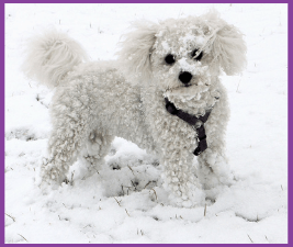 Little white dog with snow stuck to fur could use a dog snowsuit