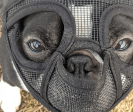 Simon, using a dog muzzle