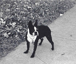 Black and white photo of a Boston Terrer, Spunky, who started the dog rules