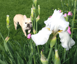 Photo of a fawn French Bulldog and flowers that are not dog safe plants.