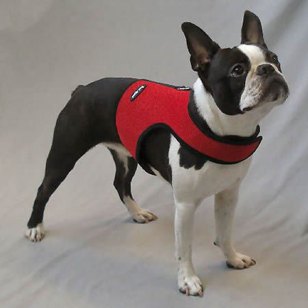 Picture of a Boston Terrier wearing a red dog harness