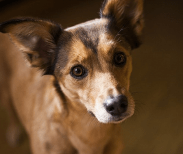 Picture of a short-haired brown dog's face for the post Dogs lives are too short