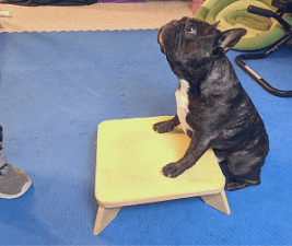Dogs love routine like this French Bulldog playing a training game.