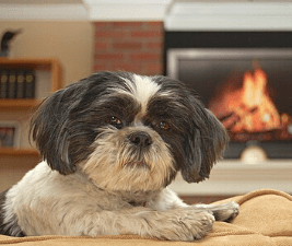 Picture of a Shih Tzu illustrating that small dogs are different