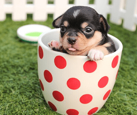 Teacup with a dog in it