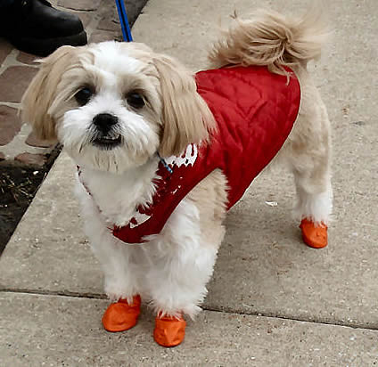Pawz Disposable Dog Boots For Small Dogs From Golly Gear